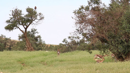 Israeli mountain gazelle female eating near olive tree Footage