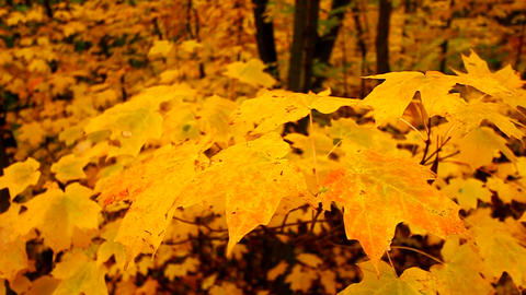 Yellow Autumn Maple Leaves stock footage