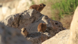 Rock hyrax pups feeding on a rock Footage