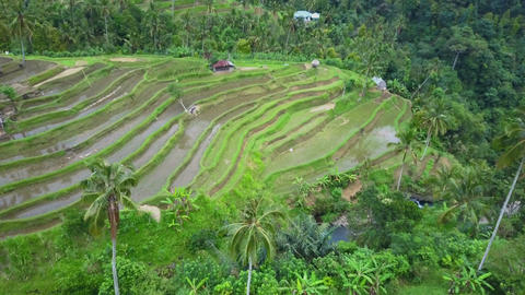 Aerial view rice fields Footage