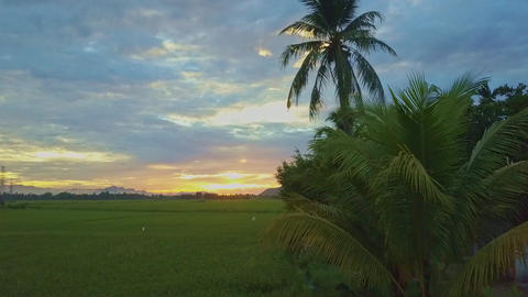 Drone Moves Past Palms along Rice Fields to Sunrise ビデオ