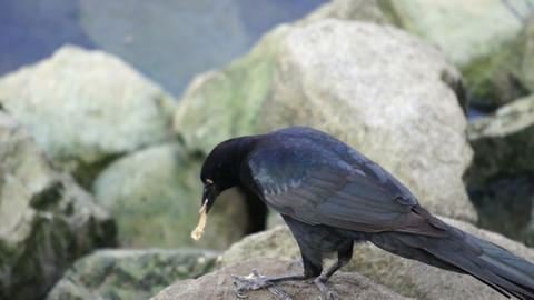 Crow Eating Stock Video Footage