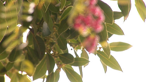 pink pepper a Stock Video Footage