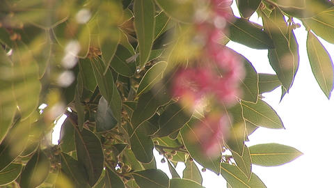pink pepper c Stock Video Footage