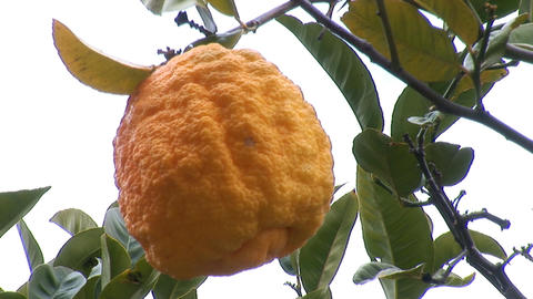 lemon tree a Stock Video Footage