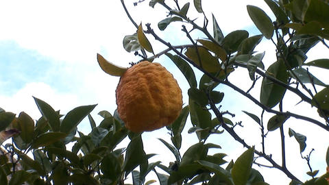 lemon tree a Footage