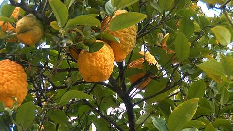 lemon tree c Stock Video Footage