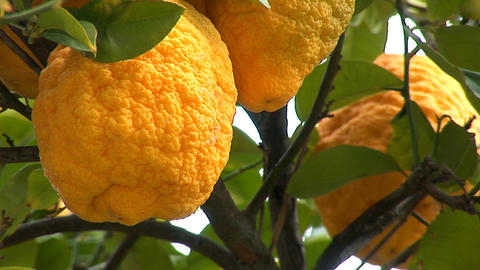 lemon tree c Stock Video Footage