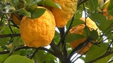 Lemon Tree C stock footage