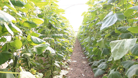 organic plants greenhouse food agriculture red sweet... Stock Video Footage