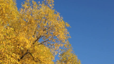 Autumn Trees 0