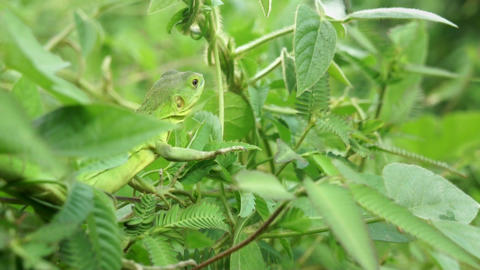 Lizard Stock Video Footage