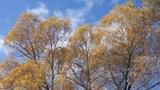 Treetop shaken wind 02 Footage