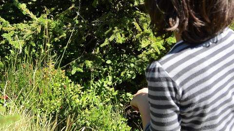 Girl collects bilberry beans from a bilberries bush 22 Footage