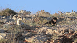 Feral dogs in the nature Footage