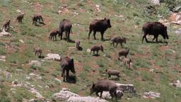 Wild Boar Herd stock footage
