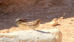 House sparrow mating ビデオ