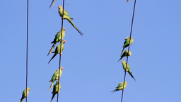 Ringed necked parakeet on power line Footage