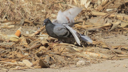 Feral pigeon Courtship and playing Footage