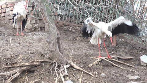Stork Close up, Beak Bird Portrait in Nature, Summer, Spring, Animal Wildlife. 4 Footage