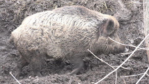 Big Pig in Absolute Mud. Closeup. 4K UltraHD, UHD Footage
