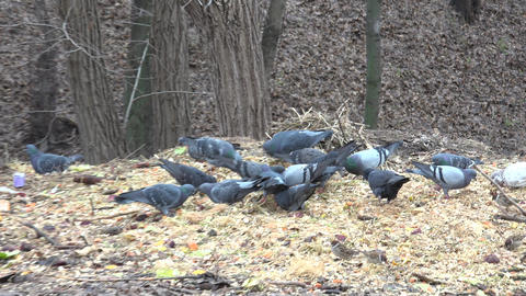 Pigeons Family Eating Closeup. 4K UltraHD, UHD Footage