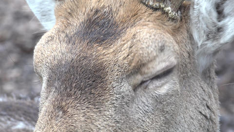 Roe Deer In The Wild. Closeup. 4K UltraHD, UHD stock footage