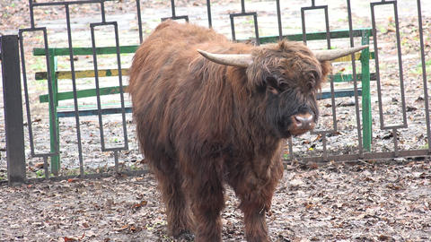 Brown Yak in a Zoo. Closeup. 4K UltraHD, UHD Footage