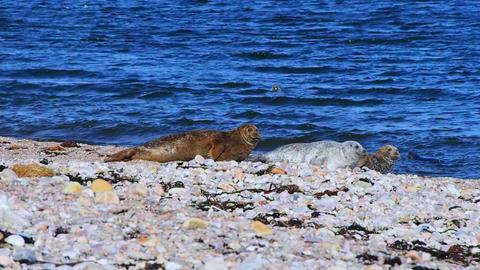 Sea lions on the beach, Scotland GIF