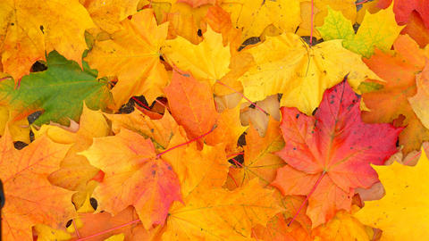 Bright and vivid colours of maple foliage in autumn, many leaves lie on ground Live Action