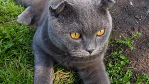 Scottish cat lying on the grass Footage