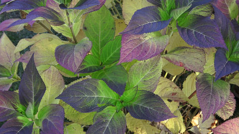 Leaves of a autumn hydrangea plant Live Action