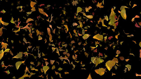 Autumn Fall Leaves Frontal - Black BG - Realistic Falling Foliage Video Animation