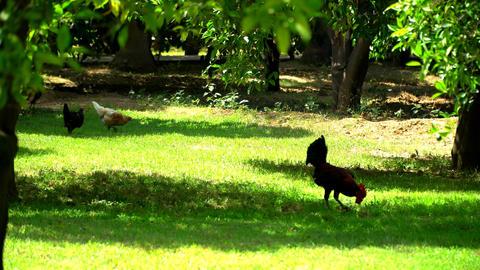 Hens Walking On Green Grass