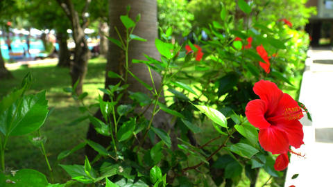 Chinese rose on a background of green grass and pool. The red hibiscus Footage