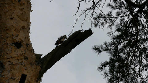 Woodpecker sits on a tree and knocks Footage