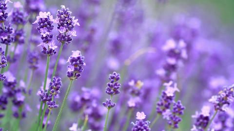 Field of lavender flowers Filmmaterial