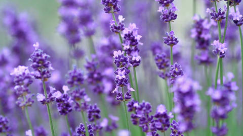 Lavender flowers Footage