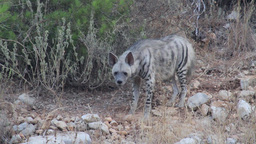 Striped hyena Footage