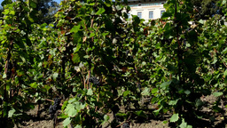 Vineyard (grape Wine) - Building - Blue Sky - Sunny stock footage