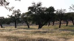 Palestine pistachio tree Footage