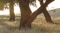 Pistachio tree with sun flares and grass Footage