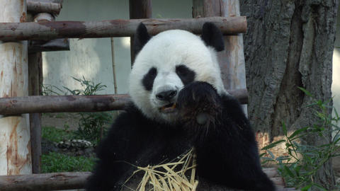 medium shot of a Funny Giant Panda Eating Bamboo Footage