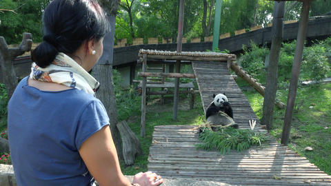 Happy woman looking at panda in the zoo Footage