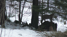 Eurasian Lynx ( Lynx lynx) pair among rocks in winter forest Footage