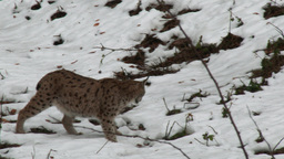 Eurasian Lynx ( Lynx lynx) walking in a winter forest Footage