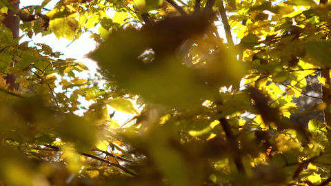 Steadicam shot of sun shining though yellow leaves in autumn forest. 4K video Footage