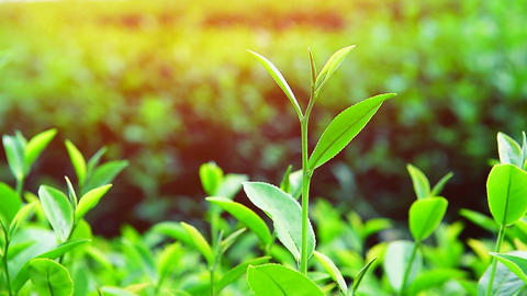 Green tea plants and sunlight. Nature background Footage