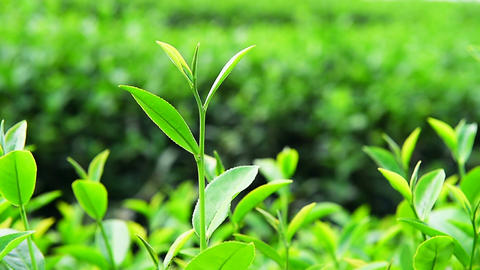 Green tea plants Footage