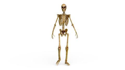 Skeleton CG動画